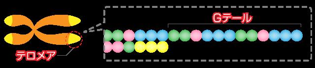 telomere01